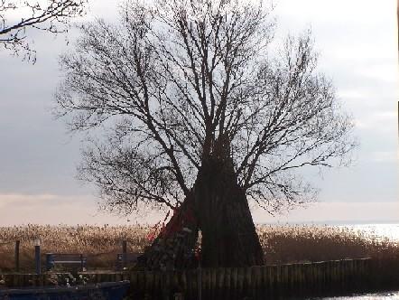 Baum_zempin_hafen